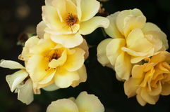 Some orange yellow roses in the garden.  Stock Photo