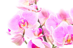 Some Orchids. Isolated on white background Royalty Free Stock Photography