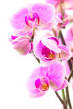 Some Orchids vertical. Some Orchids isolated on white background Royalty Free Stock Photos