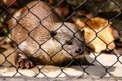 An otter in the cage. Some otter are captured and displayed in zoos. This is a young one Stock Photography