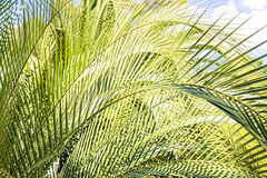 Some palm tree leaves with blue sky Royalty Free Stock Photo