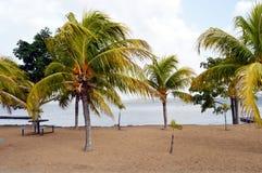 Palms tree in Caroni riverside, Venezuela, South America. Some palms tree in sand coast of Caroni riverside in Venezuela. Sunny day with some clouds in this royalty free stock photos