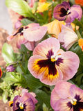 Some Pansies in a Plant pot in the Spring. Some pink and orange flowers in the sunlight royalty free stock image