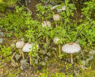 Some parasol mushrooms. Group of some parasol mushrooms in green vegetation ambiance Royalty Free Stock Photo