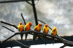 Some parrots (Aratinga solstitialis). The Sun Parakeet or Sun Conure (Aratinga solstitialis) is a medium-sized brightly colored parrot native to northeastern Royalty Free Stock Image