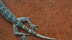 Some part of beautiful Gecko body on wall. royalty free stock photography