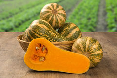 Some Paulistan pumpkins in a basket over a wooden. Some Paulistan pumpkins in a basket over a wooden surface on a pumpkin plantation background. Fresh vegetable Royalty Free Stock Images