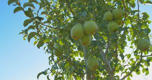 Pears hanging on a branch in the sunlight stock footage