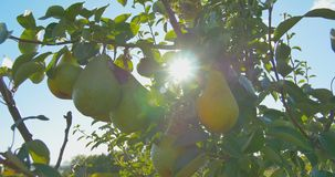 Pears hanging on a branch in the sunlight stock video footage