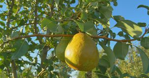 Pears hanging on a branch in the sunlight stock video