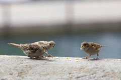 Some pecking sparrows, passer domesticus, on a stone wall. A place, where people feed them. Telephoto lens royalty free stock images