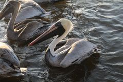 Pelicans. Some pelicans floating in the water at sunset royalty free stock photo