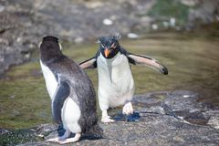 Two penguin in the arctic royalty free stock photo