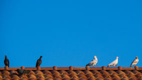 Some Pigeon Standing  Some Walking on The Roof. Of The Front Row Stock Images