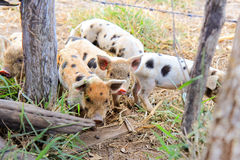 Some Piglets walking around. Cute piglets having a good time at farm Stock Photo