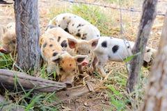 Some Piglets walking around Stock Photo
