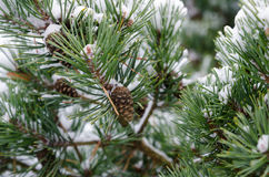 Some pinecone in the three with snow. In the winter stock photo