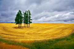 Some pines in Montana. Huge field and some pines in Montana after a harvest royalty free stock images