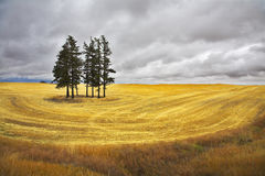 Some pines in Montana. Huge field and some pines in Montana after a harvest stock images
