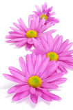 Pink chrysanthemums Royalty Free Stock Image