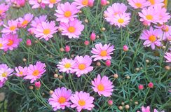 Pink daisies in the garden. Some pink daisies in the garden Royalty Free Stock Photo