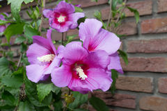 Some pink flowers hibiscus syriacus Royalty Free Stock Photography