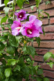 Some pink flowers hibiscus syriacus Royalty Free Stock Images