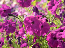 Some pink flowers petunias in focus on the flowerbed. Royalty Free Stock Images