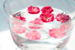 Some pink plum flowers floating in the water. In the sun light stock image