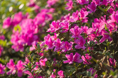 Rhododendron pulchrum Sweet Royalty Free Stock Photos