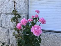 Pink roses with stone house in the background. Some pink rose flowers at the front Royalty Free Stock Image