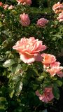Some pink roses. Beautiful pink roses in full bloom Royalty Free Stock Images
