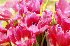 Some pink tulips in spring. Close up of some pink tulips in spring Royalty Free Stock Photography