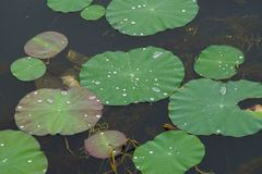 Water dews on the lotus leaves. royalty free stock photo