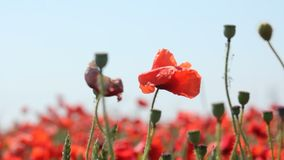 Some Poppies in a field stock footage