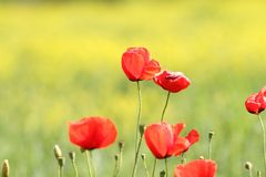 Some poppies on green background. Some wild poppies on green beautiful natural  background Stock Images