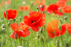 Some poppies on green field. In sunny day Stock Photos
