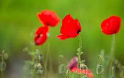 Some poppies on green field. In sunny day Royalty Free Stock Images