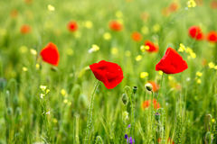 Some poppies on green field in a sunny day. Some poppies on green field in sunny day Royalty Free Stock Photos