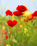 Some poppies on green field in a sunny day Stock Images