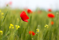 Some poppies on green field in a sunny day Stock Photography