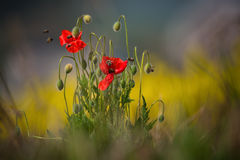 Some poppies are shot with shallow depth of field sharpness, surrounded by lots of bees that collect pollen Royalty Free Stock Photo