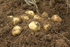 Some potatoes in ground closeup. Some ripe young potatoes tubers in ground closeup Stock Image