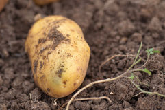 Some potatoes in the ground. Some potato in the ground royalty free stock photo