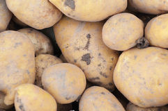 Some potatoes in the ground. Some raw potatoes in the ground stock images