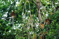 Some Proboscis monkeys or long nosed monkeys Nasalis larvatus. Sit dangling tails on  tree in the jungles of Borneo. Malaysia Stock Photos