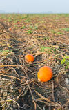 Some pumpkins remaining in the field. After harvesting of the pumpkins some small not quite perfect orange pumpkins are left behind between the withered plants royalty free stock photos
