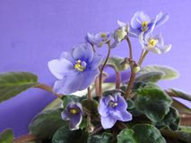 Some purple African violets blooming, with green leaves. royalty free stock photos