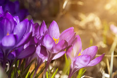 Some purple crocuses in spring Stock Photo
