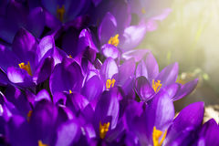 Some purple crocuses in spring. Macro of some purple crocuses in spring Royalty Free Stock Photography